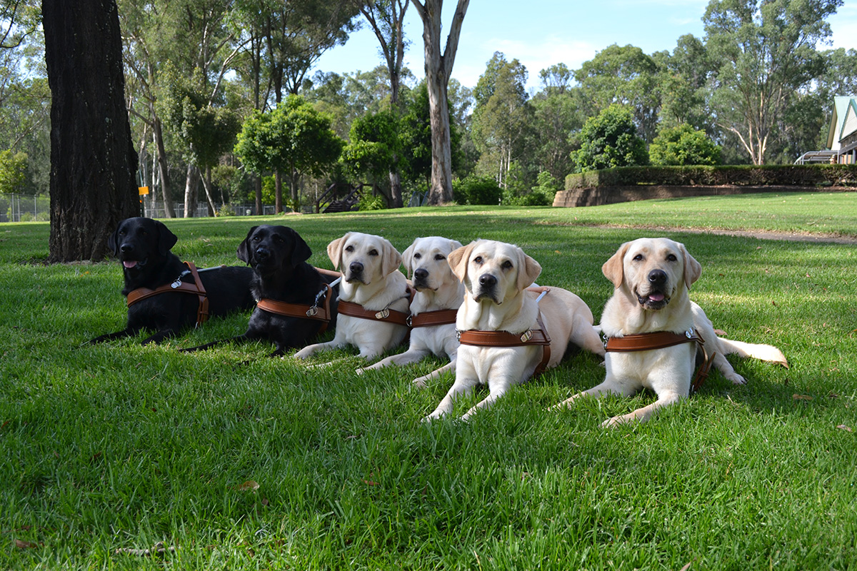 Six Guide Dogs are lying down on grass