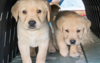 Two Labrador puppies playing