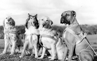 Old photo of four Guide Dogs